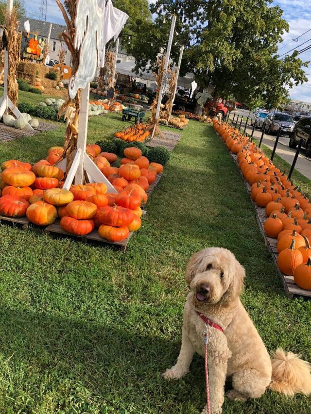 Nash pumpkin
